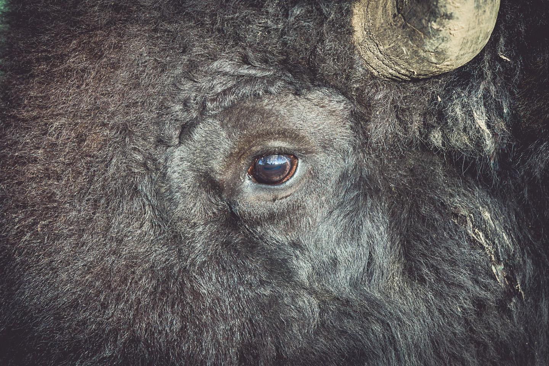Lammershof-bison.schwarz-Bisonhof-214A2565-2015